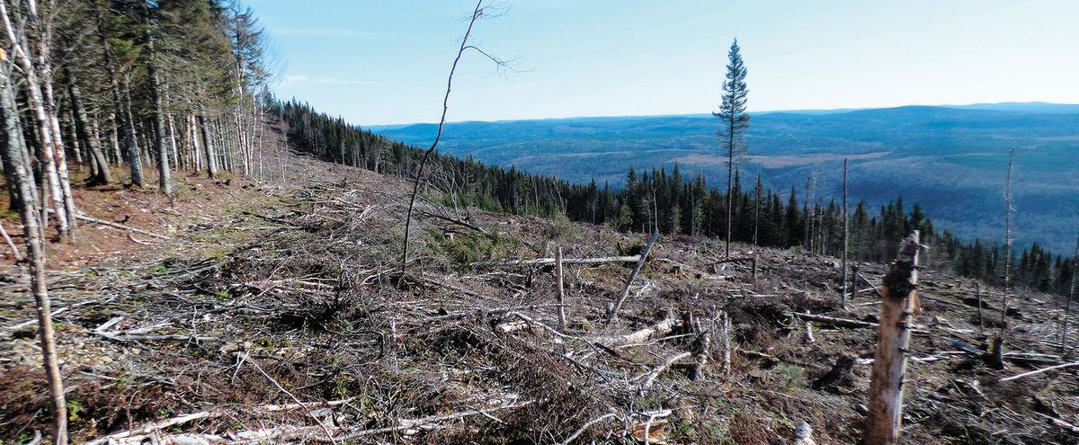 Caribou forestier: Quand les loups ont le dos large